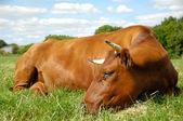 Vaca deitada — Foto Stock