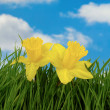 Daffodil flowers — Stock Photo