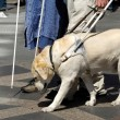 Guide dog - Stock Photo