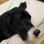 Dog resting — Stock Photo