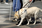 Guide dog — Stock Photo