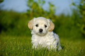 Bichon Havanais puppy dog — Stock Photo