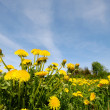 Dandelion flowers in nature — Stock Photo #5678497