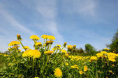 Dandelion flowers in nature — Stock Photo
