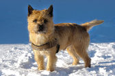 Dog in snow — Stockfoto