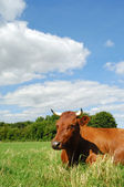 Vaca no campo — Foto Stock