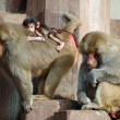 Monky family, Hamadryas Baboon - Stock Photo