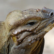 Stock Photo: Komodo reptile is looking