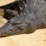 Crocodile is resting in the sun — Stock Photo
