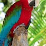 Parrot posing — Stock Photo