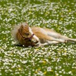 Horse foal is resting on flower field — Stok fotoğraf