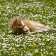 Horse foal is resting on flower field — Stockfoto