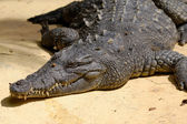Crocodile is resting in the sun — Stock Photo