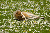 Horse foal is resting on flower field — Stock Photo