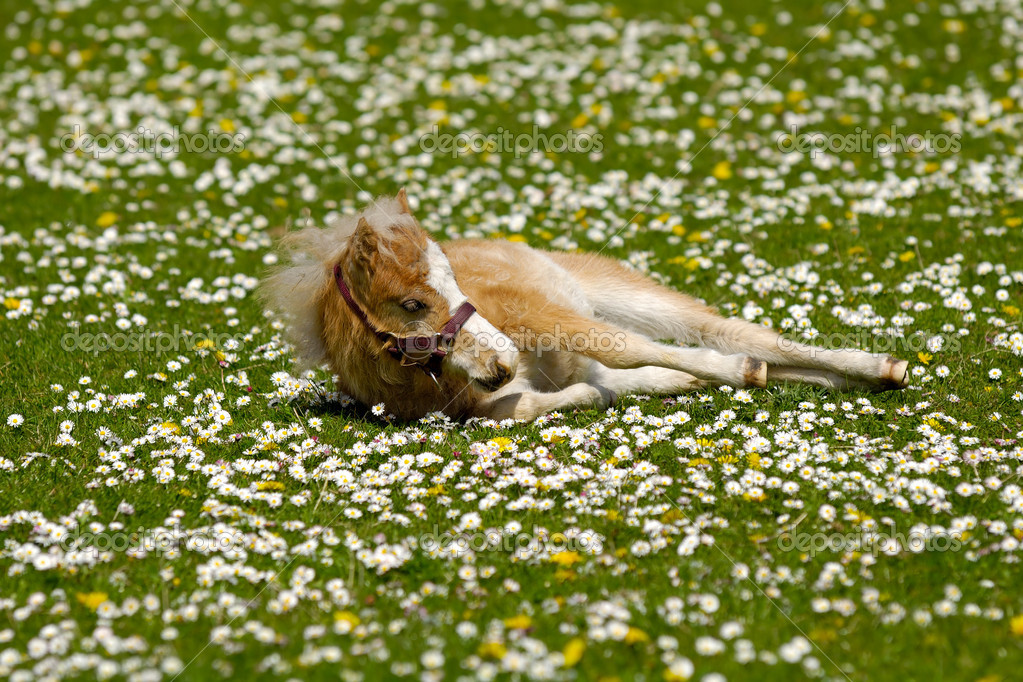 A sweet foal is resting on a green, white and yellow flower field — Stock Photo #5969991