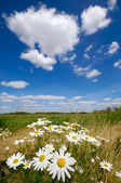 Chamomile flowers — Stock Photo