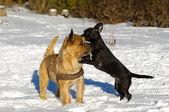 Deux chiens jouant — Photo