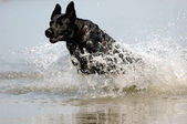 Black dog in the water — Stock Photo
