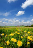 Yellow flowers and blue cloudy sky — Stock Photo