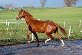 Kör häst — Stockfoto