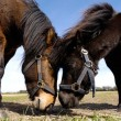 Horse couple in love — Foto de Stock