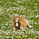 Horse foal on flower meadow — Stock Photo