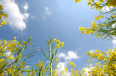Yellow rape flowers and sky — Stock Photo