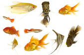 Aquarium fish on white background — Stock Photo