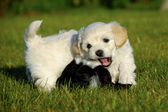 Puppies are fighting and playing — 图库照片
