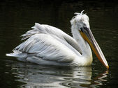 Curly pelican — Stock Photo