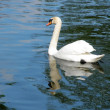White swan — Stock Photo #5632921