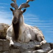 Markhor lying on a rock — Stock Photo