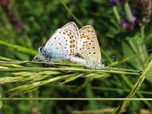 Två fjärilar i ett gräs — Stockfoto