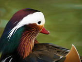 Mandarin duck — Stock Photo