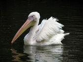 Pelican — Stockfoto