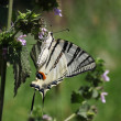 Butterfly (Scarce Swallowtail) — Stock Photo #6097126