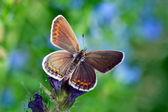 Butterfly (lycaenidae) — Stockfoto
