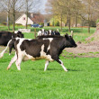 Dutch cows — Stock Photo #5428432