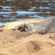 Stock Photo: Seal at beach