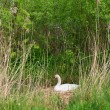 Swan on nest — Stock Photo