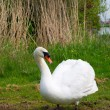 White swan in nature — Stock Photo