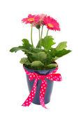 Gerber colorida planta como regalo — Foto de Stock