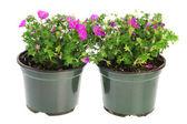 Garden Geranium in pink — Stock Photo