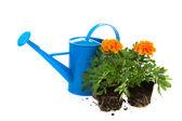Gardening with orange Marigolds — Stock Photo
