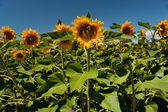 Fields with sunflowers — Stock Photo