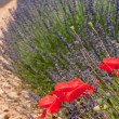 Lavenderand red poppies in the French Provence — Стоковая фотография