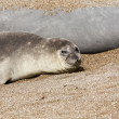 Seal at the coast - Stock Photo