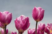 Tulipas cor de rosa em fundo cinza — Foto Stock