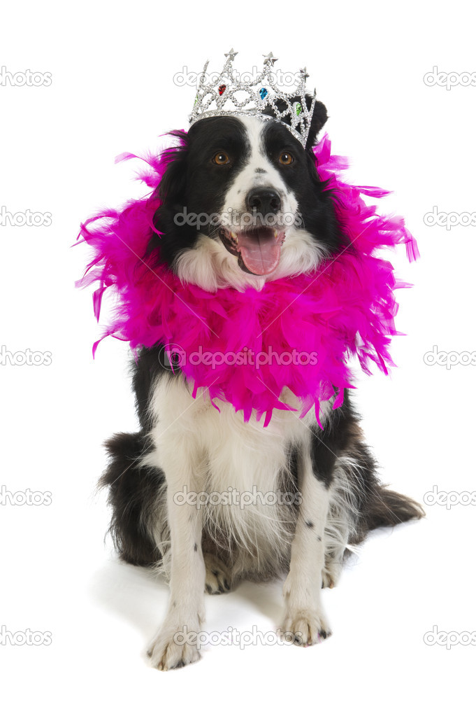 Border collie as dog princess in pink with crown — Stock Photo #5990065