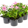 Tray Busy Lizzie plants — Stock Photo